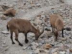 2011-08 Mont Blanc - Mountain goats